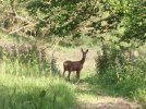 Roe Deer on Brigsteer Bee Reserve